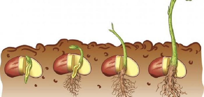 4 stages of plant life cycle