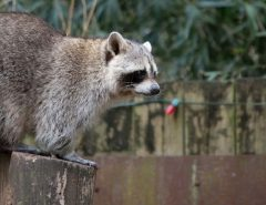 How to get rid of a raccoon